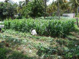 Fauchage a l'ombre du cocotier