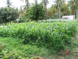 Le carre d'engrais vert avant fleuraison