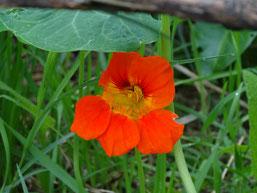 Les couleurs vives des fleurs attirent les abeilles partout dans le jardin. Ici une fleur de capucine.