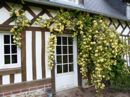 Rose tree banksiae 'Lutea' ad the end of april