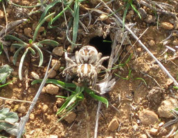 TARANTULA (Lycosa tarantula), hembra. Minas de Teuler, P. N. Sierra de Aracena