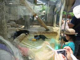 王子動物園の赤ちゃんヒョウの兄弟が池でボール遊びをする写真3