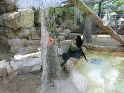 王子動物園の赤ちゃんヒョウの兄弟が池でボール遊びをする写真2