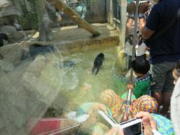 王子動物園の赤ちゃんヒョウの兄弟が池でボール遊びをする写真4
