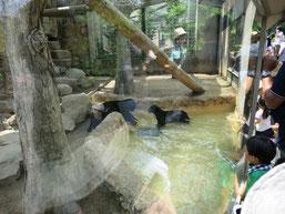 王子動物園の赤ちゃんヒョウの兄弟が池でボール遊びをする写真5