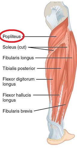 *Popliteus=膝窩筋