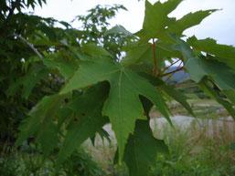 Acer pycnanthum (ハナノキ)