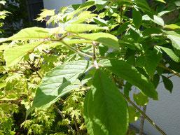 Acer nikoense (Acer maximowiczianum メグスリノキ)