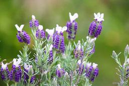 花の写真集:ラベンダーはコチラヘ(別ページに移動します)