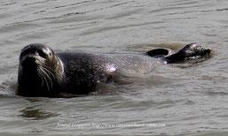 Pensez à réserver vos sorties natures, traversée de la baie de somme, phoques en baie de somme avec Découvrons la baie de somme