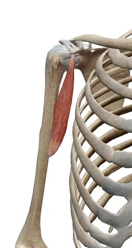 烏口腕筋 - 筋膜の知識を臨床に