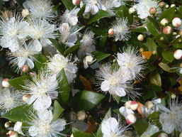 Myrtus communis by Ettore Balocchi Licence Creative Commons  2.0