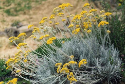 Helichrysum italicum ssp serotinum by Ghislain118 Licence Creative Commons 3.0