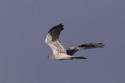 Eine durchziehende Weißflügel-Seeschwalbe