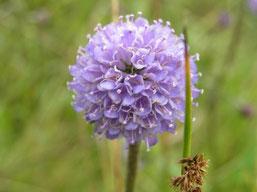 Blüte des Teufelsabbiss (Succisa pratensis)