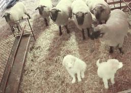 Life-Kamera (Ausschnitt)  NABU Brandenburg, Ausbildung Herdenschutzhunde, 1/2018