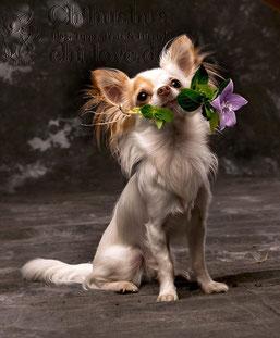 Swiffer Chihuahua Foto: Hundefotografie München