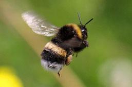 Auch eine Wildbiene: die Dunkle Erdhummel (Foto: NABU/ Kleinke)