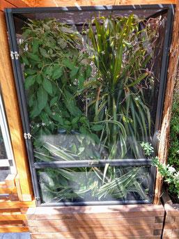 Furcifer minor outdoor enclosure
