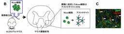 「筋萎縮性側索硬化症モデルマウスにおけるMuse細胞の治療効果」