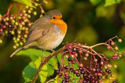 Rotkehlchen sind beliebte Gäste im Garten