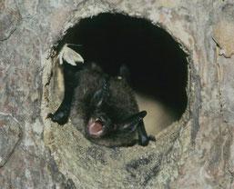 Kleine Bartfledermaus (Foto: Marcel Weidenfeller)