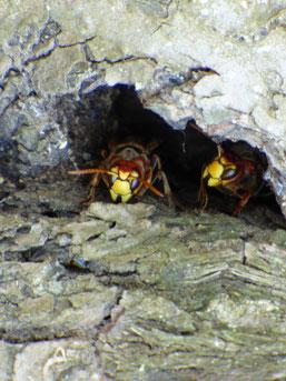 Hornissenvolk in der Höhle eines Apfelbaums