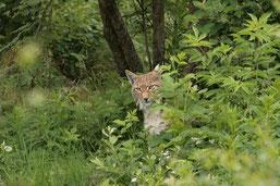 Neugieriger Luchs im Wildpark Neuhaus (Foto: Heiko Niehaus)