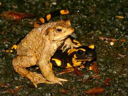 Erdkröte und Feuersalamander gemeinsam auf einer Straße unterwegs – und durch den Autoverkehr gefährdet.