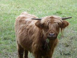 """Highland-Rind auf der Beweidungsfläche """"Im alten Roth"""" bei Girkenroth"""
