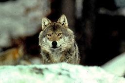 Der Wolf. - Bild: Hans Pollin