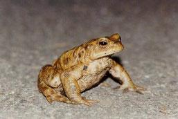Erdkröten auf der Straße vor Nonrod