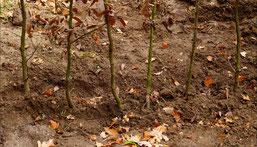 Neu gepflanzte Hainbuchenhecke, Foto: NABU Grefrath