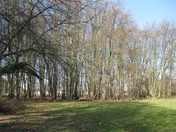 Buchenwald, Foto: www.nabu-grefrath.de