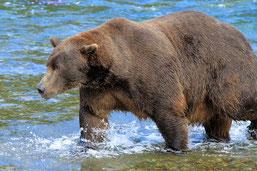 "Grizzly ""747""; Katmai N.P. Alaska"