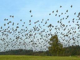 Naturschauspiel im Herbst: Stare sammeln sich bei uns teilweise zu mehreren tausend, um dann in wärmere Gefilde zu ziehen. (Foto: Christoph Buchen)