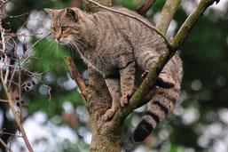 Das stumpfe, buschige Schwanzende ist ein typisches Merkmal für die Wildkatze. (Foto: Harry Neumann)