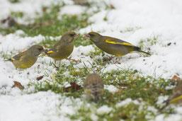 Grünfinken an der Winterfütterung (Foto: Dietmar Hartmann)