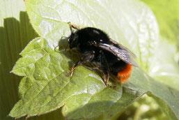 Bombus lapiarius (cb)