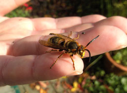 Hornisse sitzt friedlich auf dem Finger. (Foto: A. Leistikow)