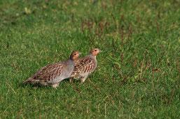 Rebhühner (jacobs)