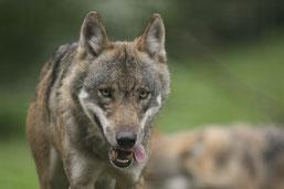 Canis Lupus (muas)