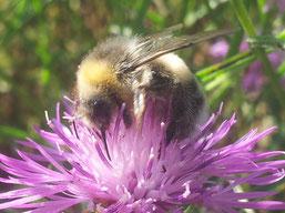 Hummel an Flockenblume (mg)