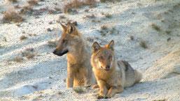 Wolfswelpen (Sebastian Koerner)
