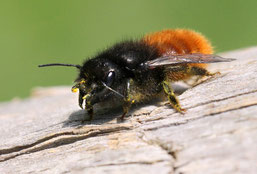 gehörnte Mauerbiene (NABU-Netz)