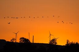 Kraniche im Sonnenuntergang