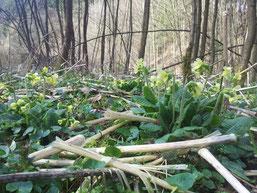 Die Hohe Schlüsselblume ist eine typische Pflanze im Erlen-Auwald, die jetzt in voller Blüte steht.