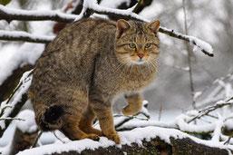 """Die heimliche Wildkatze ist zum """"Tier des Jahres 2018"""" gewählt worden. (Foto: Harry Neumann)"""