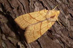 Die Linden-Gelbeule - eine der seltenen Schmetterlingsarten im bedrohten Waldgebiet. (Foto: Heidrun Melzer)