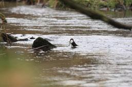 Wasseramsel im Fluss (m.schmitz)